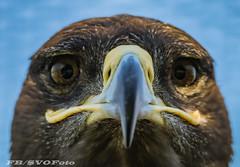 White tail eagle (rogerbo69) Tags: seeadler adler eagle byrd vogel greifvogel byrdofprey wwwfacebookcomsvofoto