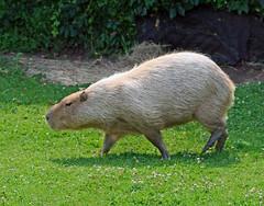 Wandering Capybara (dlberek) Tags: capybara turtlebackzoo
