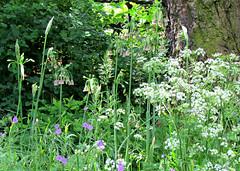 Summer Bloom, The Garden Museum, London, England (Amethinah) Tags: 2013 uk unitedkingdom greatbritain london thegardenmuseum queenanneslace frittillary geranium lambeth