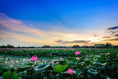 Đầm hoa sen - Quốc hoa Việt Nam (daihocsi [(+84) 918.255.567]) Tags: hoasen quochoa lotus đầmsen hồngcánhsen