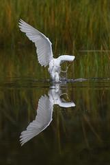 Snowy Egret 9_19 2 (krisinct- Thanks for 12 Million views!) Tags: nikon d500 500 f4 vrg
