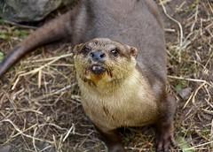 Asian Short Clawed Otter (Dave_S.) Tags: otter buckfastleigh devon uk united kingdom great britain england british english nikon d7200 aquatic mammal animal cute sanctuary amblonyx cinereus asian short clawed paprika squeaker animalplanet