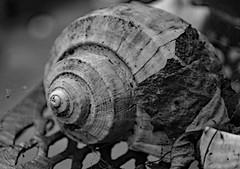 Design of a Life (BKHagar *Kim*) Tags: bkhagar shell spiral design bw blackwhite black white shelf deck outside collection collected
