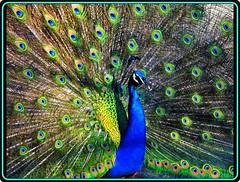 A colorful peacock (2) (Ioan BACIVAROV Photography) Tags: colorful peacock birds spring primavara printemps natura nature bacivarov ioanbacivarov photostream interesting beautiful wonderful wonderfulphoto