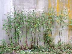 Balsamine de l'Himalaya (L'herbier en photos) Tags: balsaminaces balsaminaceae impatiens namur wallonie belgique famenne glandulifera royle balsamine himalayan balsam man groschne havelange himalaya