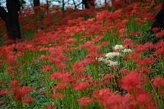 Red & White (Minami45) Tags: xpro1 fujifilm redspiderlily hurricanelily clusteramaryllis red white flower japan tokyo fujinon xf60mm bokeh