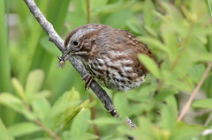 Song Sparrow (glenbodie) Tags: glen bodie glenbodie 201619 colony song sparrow