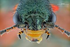 Malachius bipustulatus. (Ireneusz Irass Waledzik) Tags: macrophotography macro magazine meadow microscope closeup ngc bug irass insects nature nikon nationalgeographic d7100 carl zeiss jena semiplan 63x macromondays