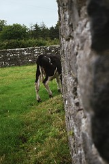 cow in ruins (HoosierSands) Tags: ballybegpriory augustiniancanons ruins buttevant cocork ireland ire