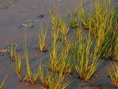 IMG_0847 (ericssonbo24) Tags: seagrass sand evening wet green nature beach grassroots