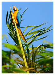 Wild Macaw in Miami (thedaner) Tags: life blue wild bird animal yellow gold nikon florida miami wildlife feathers parrot aves exotic macaw bg ara nonnative feral blueandgoldmacaw araararauna blueandgold blueandyellow ararauna blueandyellowmacaw psittacidae psittaciformes bgmacaw d7000