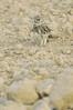 Athene noctua / mochuelo. (chemazgz) Tags: españa fauna spain europa aves animales athene animalia strigiformes aragón strigidae mochuelo rapaces vertebrata vertebrados taxonomy:kingdom=animalia geo:country=spain taxonomy:genus=athene taxonomy:family=strigidae mochuelos taxonomy:binomial=athenenoctua geo:region=europa taxonomy:common=mochuelo naturalezadepresiondelebro faunadepresiondelebro