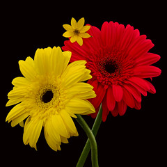 Piggyback (njk1951) Tags: yellowflower gerbera squareformat redflower onblack gerberadaisy tinyflower threeflowers redgerbera yellowgerbera