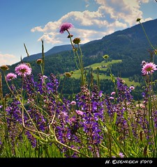 BergBlumen (H. Eisenreich Foto) Tags: flowers summer mountains alps prime photo sommer south award blumen berge alpen alto alpi tyrol 2012 sdtirol adige bergblumen villandro villanders eisacktal barbian dreikirchen
