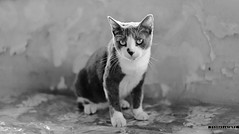 LA MALA (Esdras Jaimes) Tags: blackandwhite pet blancoynegro animal cat noir gato neko mascota animaldomestico domesticalanimal