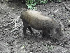 Natuurpark Lelystad 157 (cermivelli) Tags: wild nature boar naturepark flevoland wildboar zwijn everzwijn