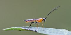 Braconid Wasp (Dah Professor) Tags: town nj swamp greatswamp wildernessarea thegreatswamp kh0831