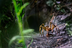 The law of the jungle (Michel Couprie) Tags: light shadow wild france macro nature animal closeup canon eos spider web dordogne jungle 7d prey predator toile ferocious araignee