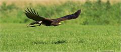 Buzzard (TenZNL.com) Tags: pentax buzzard common buteobuteo birdofprey k5 bif birdinflight buizerd roofvogel sigma100300f4 roofvogelboerderij tenznl