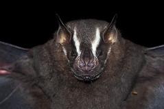Great Fruit-eating Bat [Artibeus lituratus (Olfers, 1818)], Maricá, Rio de Janeiro