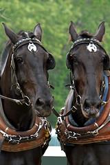DSC01649 (archer10 (Dennis) 96M Views) Tags: horses horse canada museum novascotia farm sony free competition fair driver dennis jarvis pulling weight newross iamcanadian freepicture dennisjarvis archer10 dennisgjarvis nex7 18200diiiivc