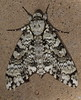 Insects of Arizona (Laurent Lecerf pictures) Tags: arizona sphinx butterfly insect us beetle moth butterflies insects papillon moths beetles insecte insectes entomologie entomology gloriosa saturniidae splendens citheronia tarentula eacles catocala oslari chrysina beyeri