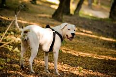 (Katarina Drezga) Tags: dog pets dogs nature animals nikon perro perros nikkor dogphotography petphotography dogoargentino 55300 d3100