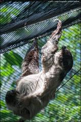 Hanging around... (jfelege) Tags: zoo ngc sloth erie eriezoo tonemapped zoosofnorthamerica