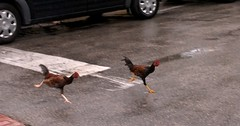 Why Are These Chickens Crossing the Road? (key lime pie yumyum) Tags: chickens delete9 delete5 delete2 funny raw delete6 delete7 isaac hurricane humor save3 saved10 delete8 delete3 save7 save8 delete delete4 save save4 save5 keywest save6 roosters save1 southernmostpoint saved9 fightingcocks savedbythedeltemeuncensoredgrou wethen