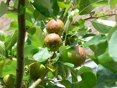 Cox´s Orange Pippins