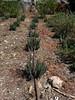 Organic Lavender Plants