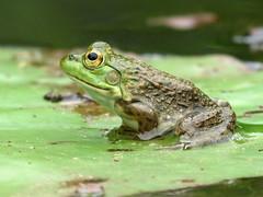 American Bullfrog on a Lily Pad (treegrow) Tags: nature dc frog kenilworth americanbullfrog lifeonearth lithobatescatesbeianus taxonomy:binomial=lithobatescatesbeianus canonpowershotsx40hs