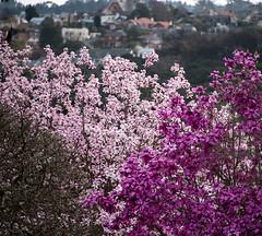 Magnolia Time (Ian@NZFlickr) Tags: gardens upper nz magnolia otago dunedin botanic