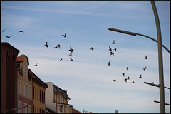 20120902_039 (sulamith.sallmann) Tags: city wedding urban berlin bird birds animals germany deutschland tiere fly europa pigeons stadt vgel taube mitte deu doves tier vogel fliegen gesundbrunnen tauben berlinmitte stdtisch sulamithsallmann prinzenallee fortbewegung osloerstrase