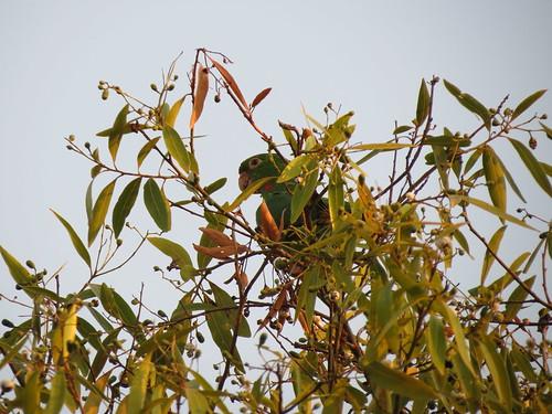 Periquitão-maracanã (Aratinga leucophthalmus) (