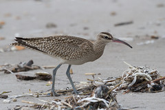 Tame Whimbrel - Unusually tame individual at Oshamanbe.