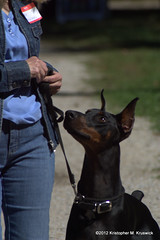 Treat! (kmkruswick) Tags: dru dog doberman dobie 2012 fallpicnic dobermanrescueunlimited