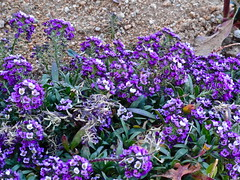 Purple (Lynn Kelley Author) Tags: flowers garden purple alyssum lynnkelley