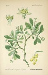 Anglų lietuvių žodynas. Žodis loranthus europaeus reiškia <li>loranthus europaeus</li> lietuviškai.