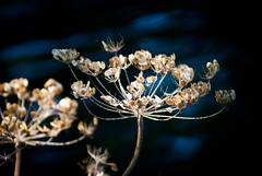 bOKEH (Hansis y Greta) Tags: españa naturaleza flower nature bokeh live flor vida vegetal sonydsc spian ltytr1