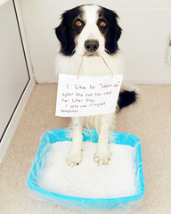 37/52 Dog Shaming (meg price) Tags: dog bordercollie barney 52weeksfordogs dogshaming