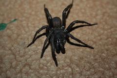 Idiopidae>Anidiops? Australian Trapdoor Spider? 244 (Bill & Mark Bell) Tags: burracoppin westernaustralia australia geo:town=burracoppin geo:state=westernaustralia geo:country=australia geo:lon=11828372egeolat3123492s 3123492s11828372e taxonomy:kingdom=animalia animalia taxonomy:phylum=arthropoda arthropoda taxonomy:class=arachnida arachnida taxonomy:order=araneidae araneidae taxonomy:suborder=araneomorphae araneomorphae taxonomy:order=araneae araneae taxonomy:family=idiopidae idiopidae taxonomy:genus=anidiops anidiops taxonomycommonnamegianttrapdoorspider gianttrapdoorspider spider animal fauna