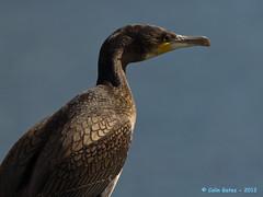 Cormorant (Wildtracker) Tags: nature closeup eos wildlife northernireland cormorant armagh craigavon 60d gatescanoncanon wildtracker lakescanon birdscraigavon 60dcolin