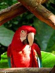 Arara-vermelha-grande (Marney Queiroz) Tags: parque cores do flor aves borboleta das cor foz iguacu arara queiroz beija marney panasonicfz35 marneyqueiroz