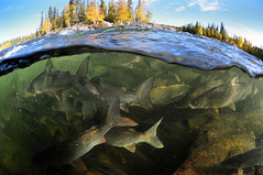 Home of the Swarm (Fish as art) Tags: fish canada close north pescado whitefish northern poisson fisk angeln underwaterphotography fisheries schooloffish fischen coregonus riverfish fishswarm unterseeisch fishbiology coregonids northernfishes paulvecseiphotography undersiske whitef