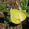 Little Yellow, female (Eurema lisa) (Vicki's Nature) Tags: yellow canon butterfly georgia purple spots wetlands sulphur wildflower s5 biello littleyellow euremalisa 0276 vickisnature storybookyellow