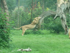 """Longleat Safari Park • <a style=""""font-size:0.8em;"""" href=""""http://www.flickr.com/photos/81195048@N05/8017620638/"""" target=""""_blank"""">View on Flickr</a>"""