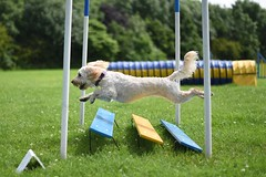 Day 34 | Agility (colley.rebecca) Tags: dog cute dogs jump jumping action adorable agility labradoodle actionshot labradoodles agilitydog