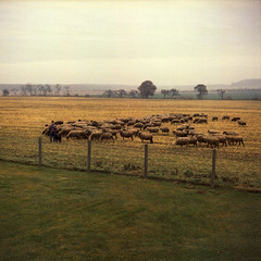 ancient lawnmower (Walther Le Kon) Tags: analog film schafe schfer hirte hirtenhund sheeps shepard derherristmeinhirte rasenmher lawnmowerman rasenmhermann stevenking herde herd