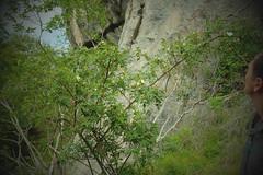 Arrive au pied de la falaise de la Tume que l'on longera par la droite 1524 m (alainlecroquant) Tags: randonne montagne pyrnes valledossau soussouou pontdugoua cornichedesalhas cabane fleur cheval vache troupeau source ruine pierrier fortdherrana cascade vallon ballatous falaisedelatume czy fujixt1 18135 panoramique